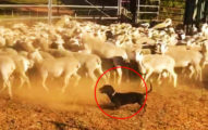 臘腸「第一次當牧羊犬」 壓低底盤「短腿衝刺」氣勢超驚人!