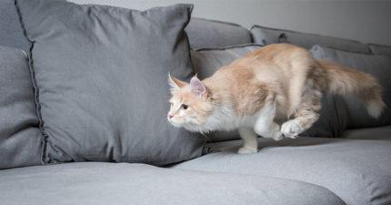 為什麼貓咪上完廁所會「發瘋亂跑」?不只是「被臭到逃跑」!