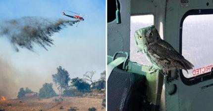 消防員搭直升機「撲滅野火」 貓頭鷹「闖入支援」全場驚喜