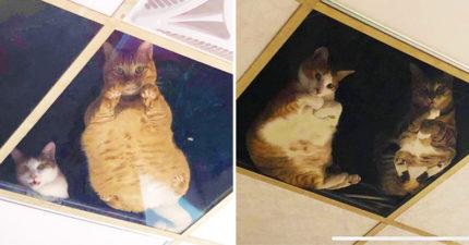 鏟屎官必備「貓貓天窗」 抬頭就看到懸空「肉球肥肚」太療癒❤