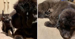 黑貓超愛「躲黑狗懷裡」 用毛髮「融為一體」害主人找不到