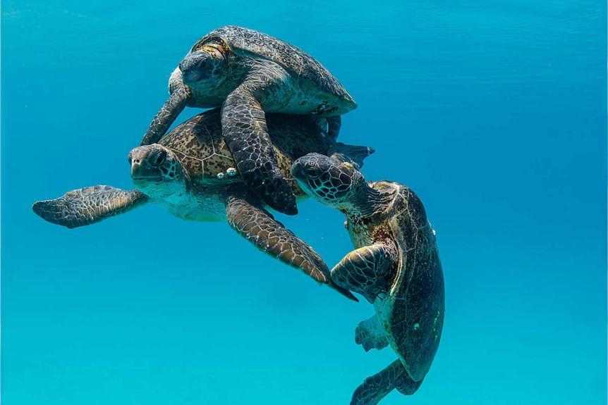 海龜「大型多人運動」開幕 雌龜「渣女式尋愛」小孩都不同老爸