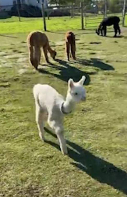 馬麻我愛你!小羊駝「奔向媽媽懷抱」有愛互動讓網融化❤