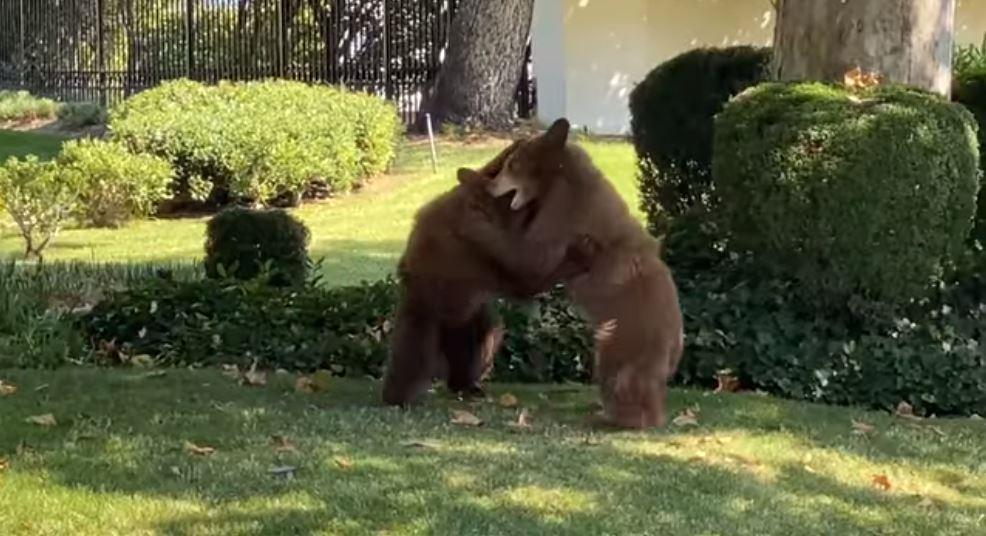 影/熊寶寶在庭院偷玩摔角 「屁拳狂嚕」連硬漢警察也融化