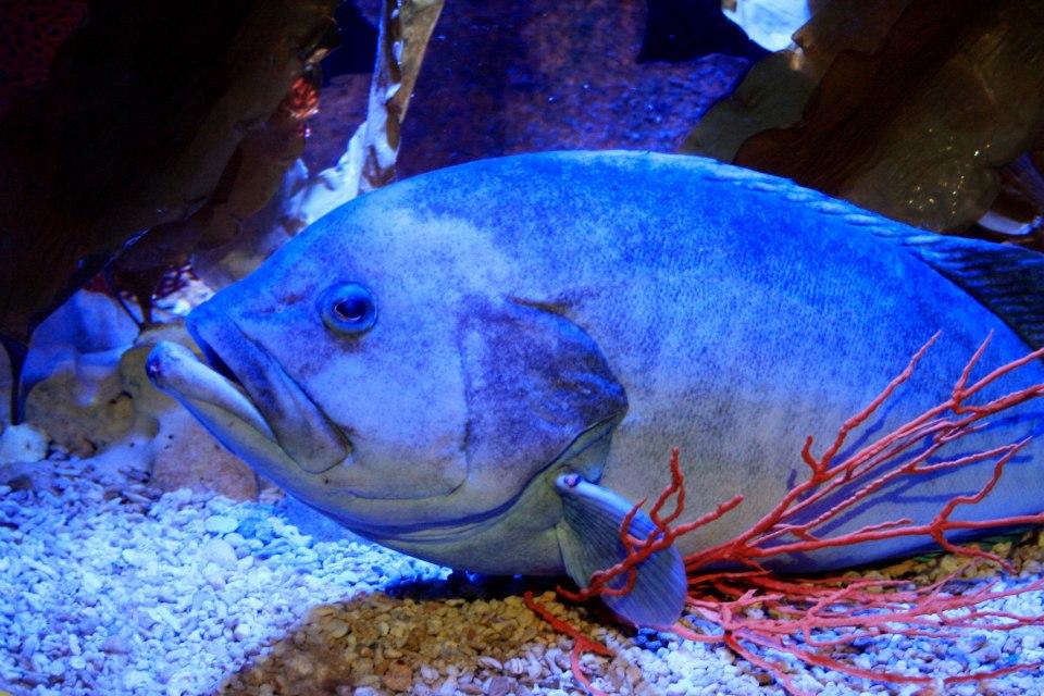 世界最孤單石斑「太愛好朋友」直接吃掉 沮喪住單魚房過生日