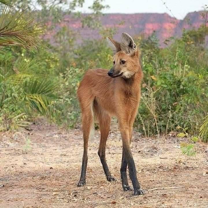 動物界名模!「不是狐狸也不是狼」的神祕物種...遇到算你夠幸運
