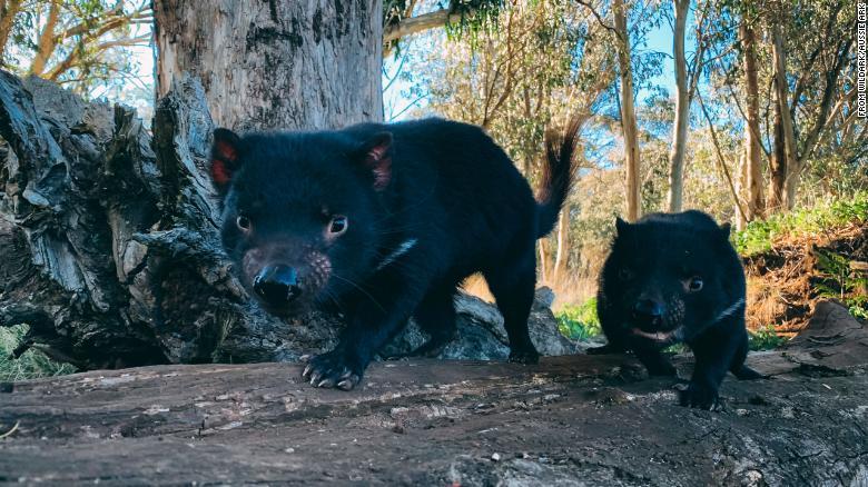 塔斯馬尼亞惡魔「睽違3千年」回歸樹林 終於矯正不平衡生態