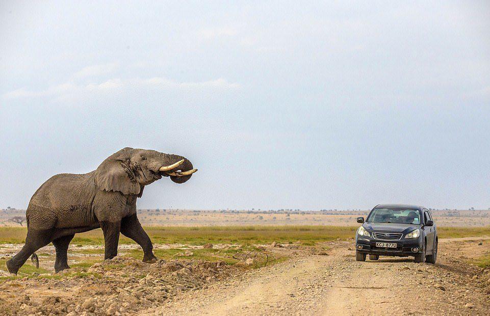 他們在國家公園開車 大象突然爆衝...「超憤怒畫面」嚇到只能逃!