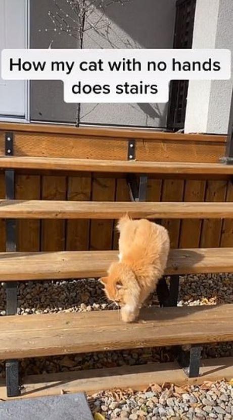 少了前爪!橘貓學人類「用2隻腳走路」連尿尿也神模仿