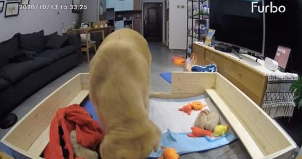 新手媽媽上路!幼犬一直哭鬧 阿金最後「叼來公仔」搞定全場