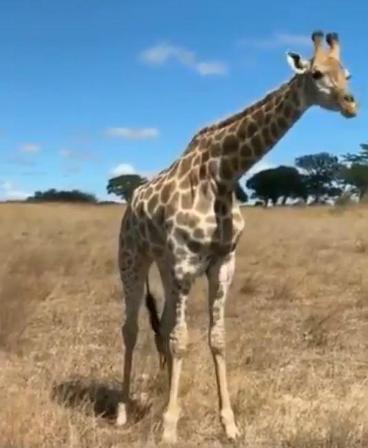 影/長頸鹿怎麼吃草?網拍到牠「開合跳覓食法」瞬間長知識!