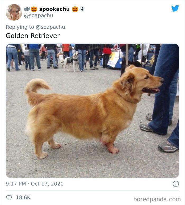 柯基「超強短腿基因」惹上就逃不掉 連獒犬都變「低底盤公車」