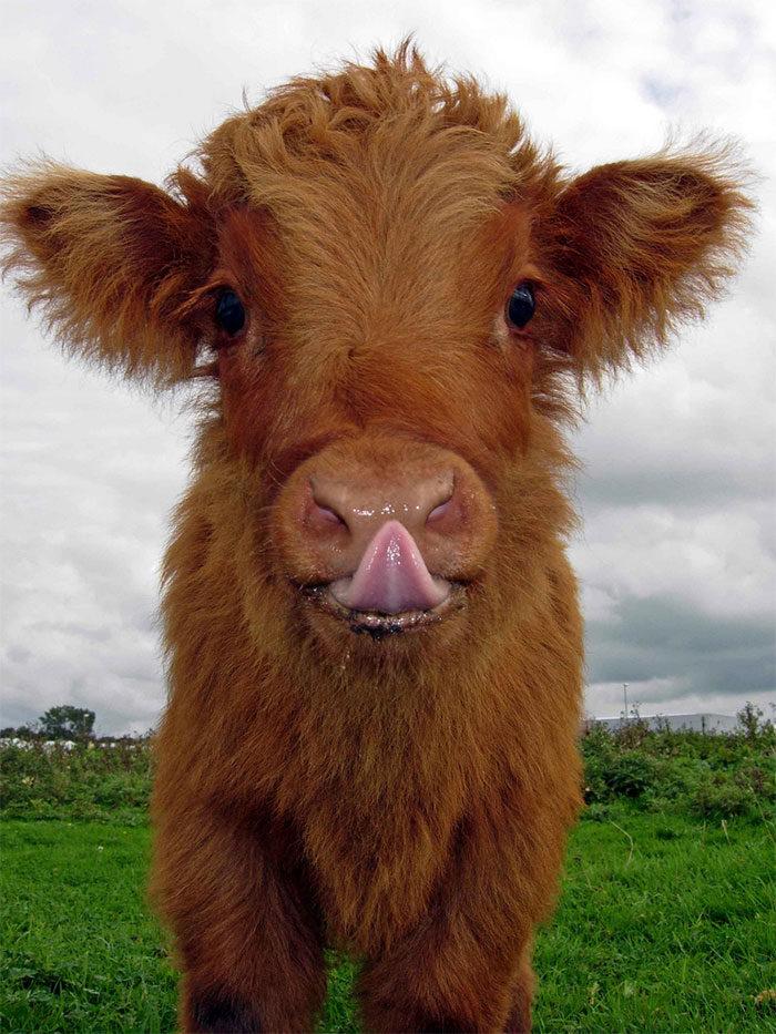 高地小萌牛
