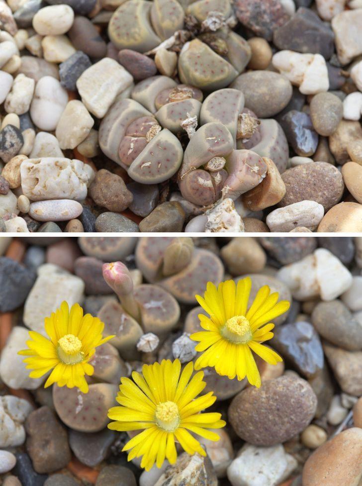 14種讓你懷疑「地球有外星人」的怪奇植物 石頭居然會開花