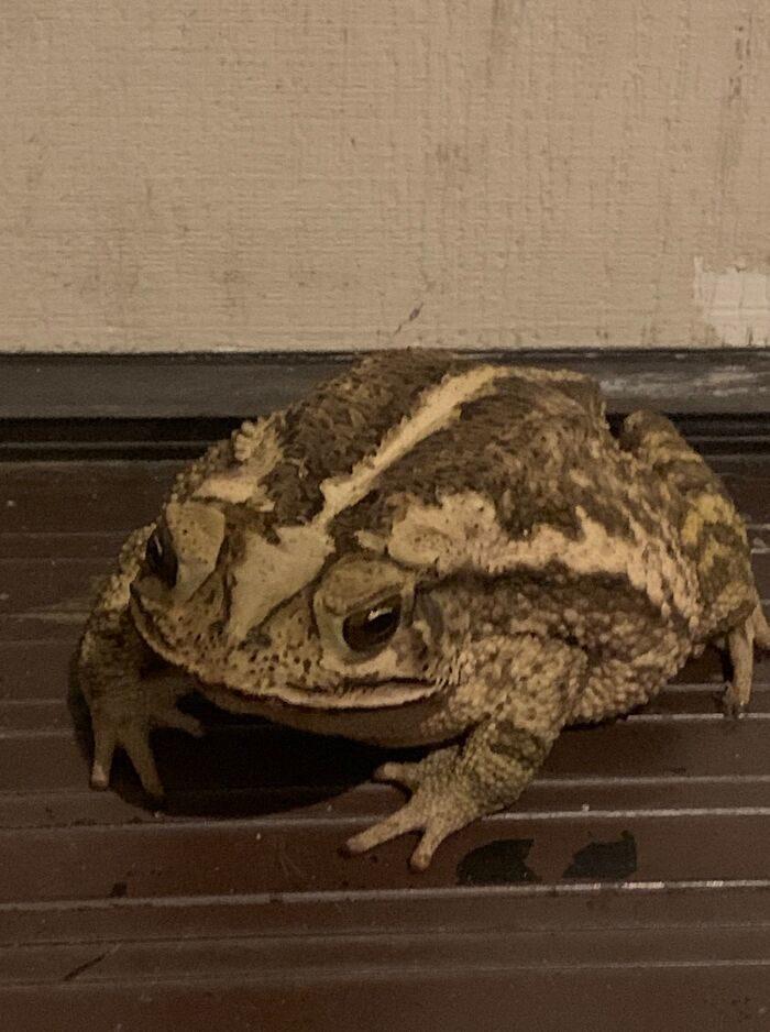 流浪蛙「愛上人類臭鞋」每天當別墅...連貓皇的水盤也敢消遣!