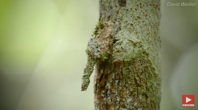 蛾幼蟲太會偽裝「幾乎消失」 攝影師「靠一招辨別」真假