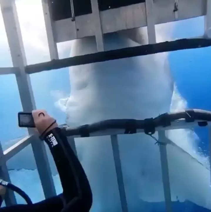 影/5公尺大白鯊突「猛咬潛水籠」超嚇人 專家稱:極罕見狀況