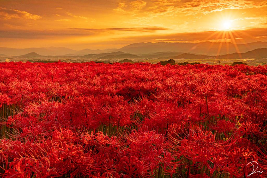 地獄的景象!夕陽光下「彼岸花海」彷彿黃泉路 超唯美景點曝光