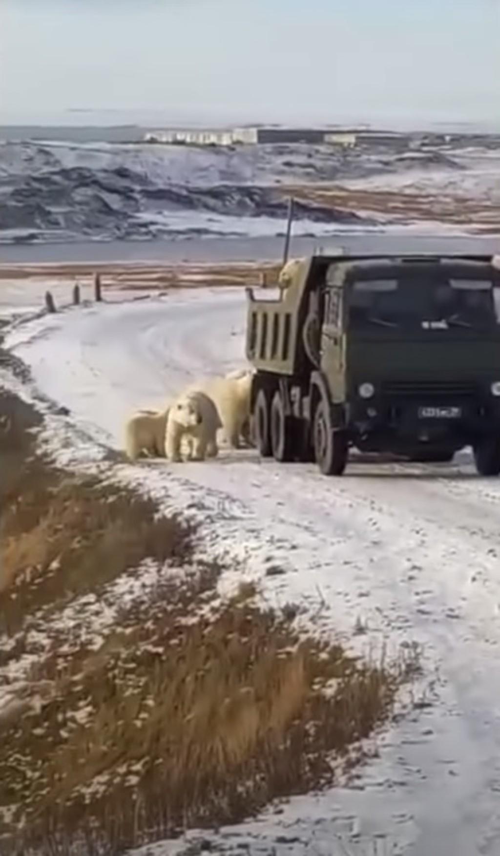 影/10隻北極熊突然包圍車子!司機「0距離對看」嚇到狂鳴笛