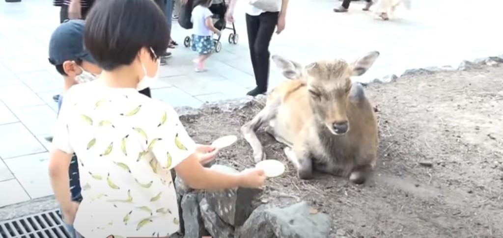 奈良鹿「不愛仙貝」了...回歸吃草天性「對遊客超冷淡」!