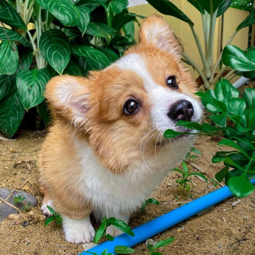 柯基用「小短腿賣萌」融化全網 「品種特殊」是英女王最愛犬類