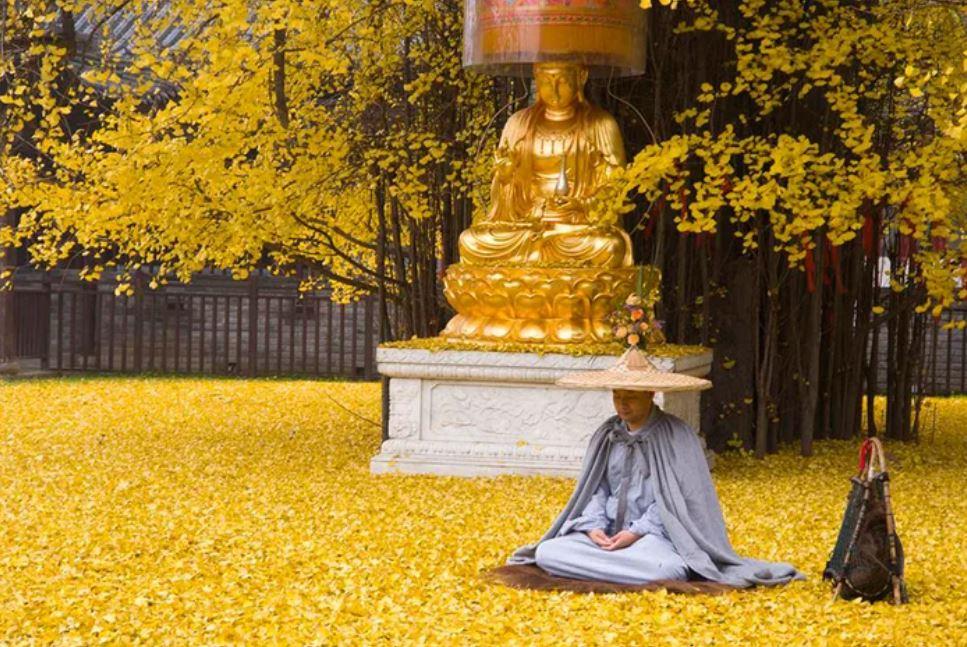 1400年銀杏「滿地黃金」太唯美!皇帝親手種下 限制入場「還要預約」