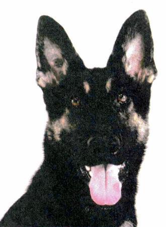 警犬出任務找人...聞一半「直接消失」 人沒找到還要多找狗!