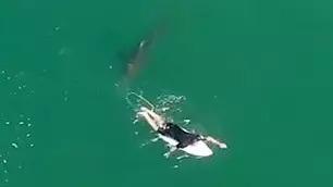 無人機發現「鯊魚跟蹤衝浪客」 他被「神救援」超傻眼:剛剛怎了?