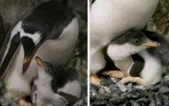 2年前把「假蛋」送給同志企鵝 現在牠們「第2次當爸」女兒超可愛!