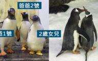 2年前把「假蛋」送給同志企鵝 現在牠們「第2次當爸」成模範家長!