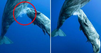 超罕見「抹香鯨餵奶」畫面 鯨寶寶「水中接奶」萌翻