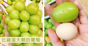 「比雞蛋還大顆」的葡萄 咬開後「水分超飽滿」...價格也不簡單!