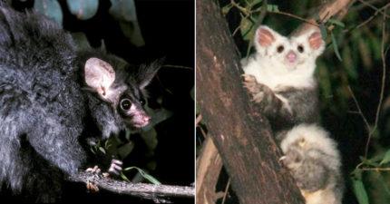 澳洲發現2種「哺乳動物新物種」 專家警告:人類對牠們來說很危險
