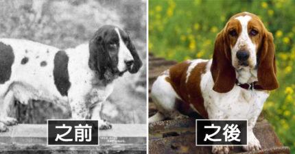 18種狗狗「100年來的變化」 以前臘腸的腿沒那麼短!