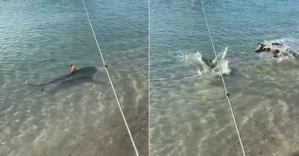影/發現主人被盯上...猛犬直接「下水決鬥」鯊魚反應太孬!