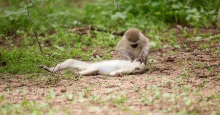 聰明猴「人工呼吸」救暈倒同伴?網看「壓下巴」姿勢:比人類還標準!