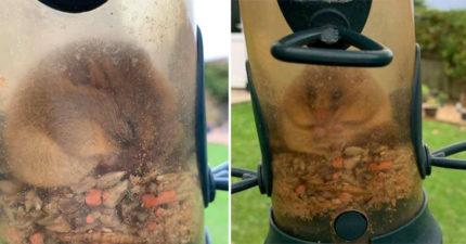 「吃貨小鼠」跑進鳥飼料罐狂嗑 吃到出不來...阿嬤緊急求助!