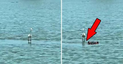 影/水鳥表演「輕功水上漂」 一看腳下「助攻神器」超狡猾