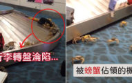 行李等到一半...全機場被「螃蟹大軍占領」爆衝狂爬嚇傻乘客