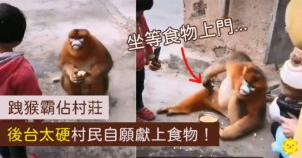 跩猴霸佔村莊「白吃1個月」沒人敢動:牠後台太硬!