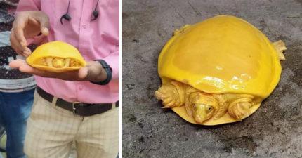 農夫意外救出「金黃烏龜」 顏色像「蛋黃和起司」極罕見!