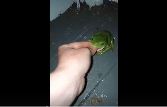 影/好心餵萌樹蛙吃蟲...女子「整隻手指」被大口吞進去!