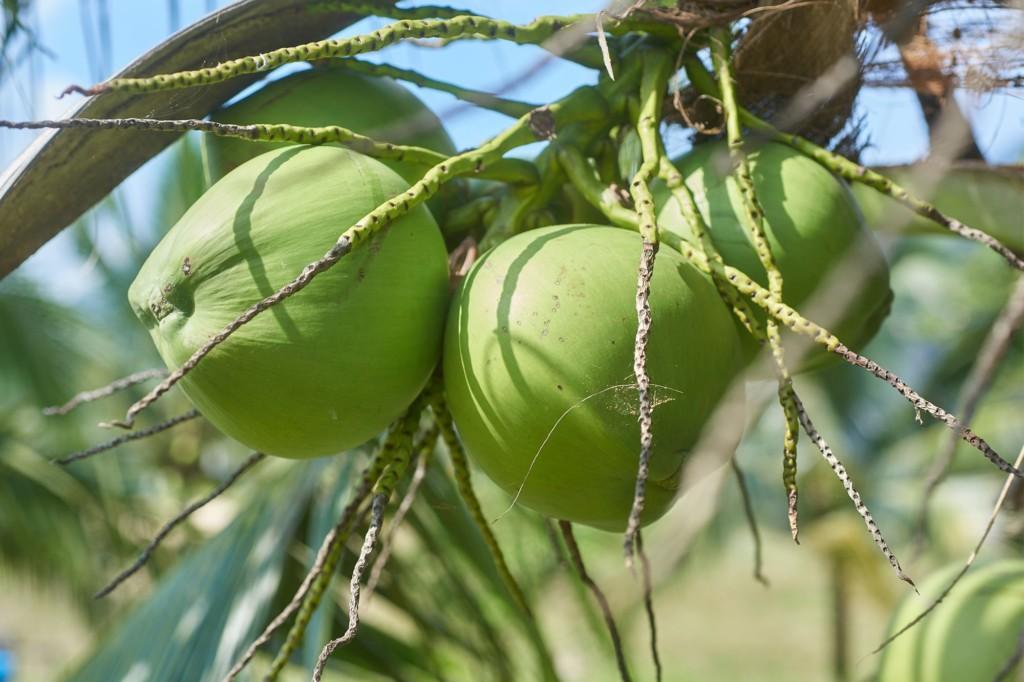 學校宣布可「繳椰子當學費」...加碼通融:另外2種樹葉也可以