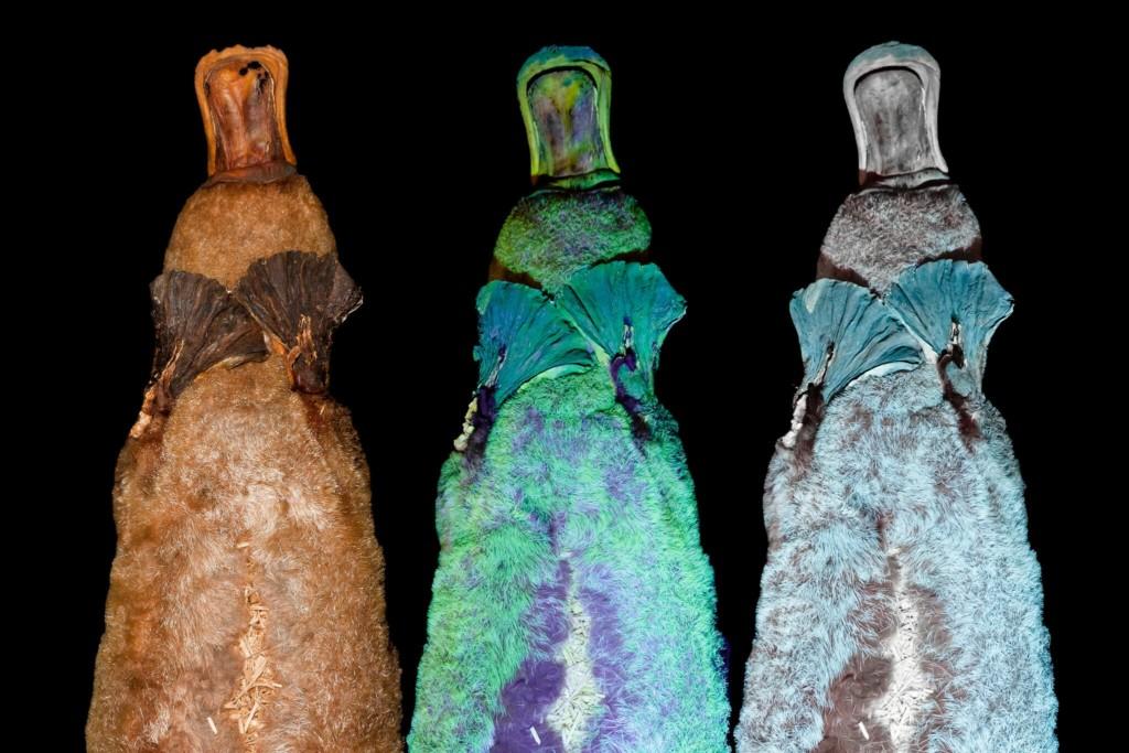 「泰瑞的顏色」是真的!科學家發現:鴨嘴獸晚上是「螢光色」