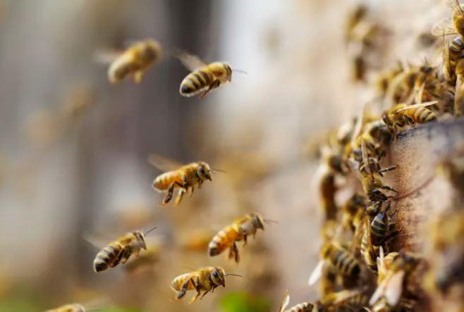 6個「蜜蜂是昆蟲界天才」驚人知識 牠們也有「民主投票」制度