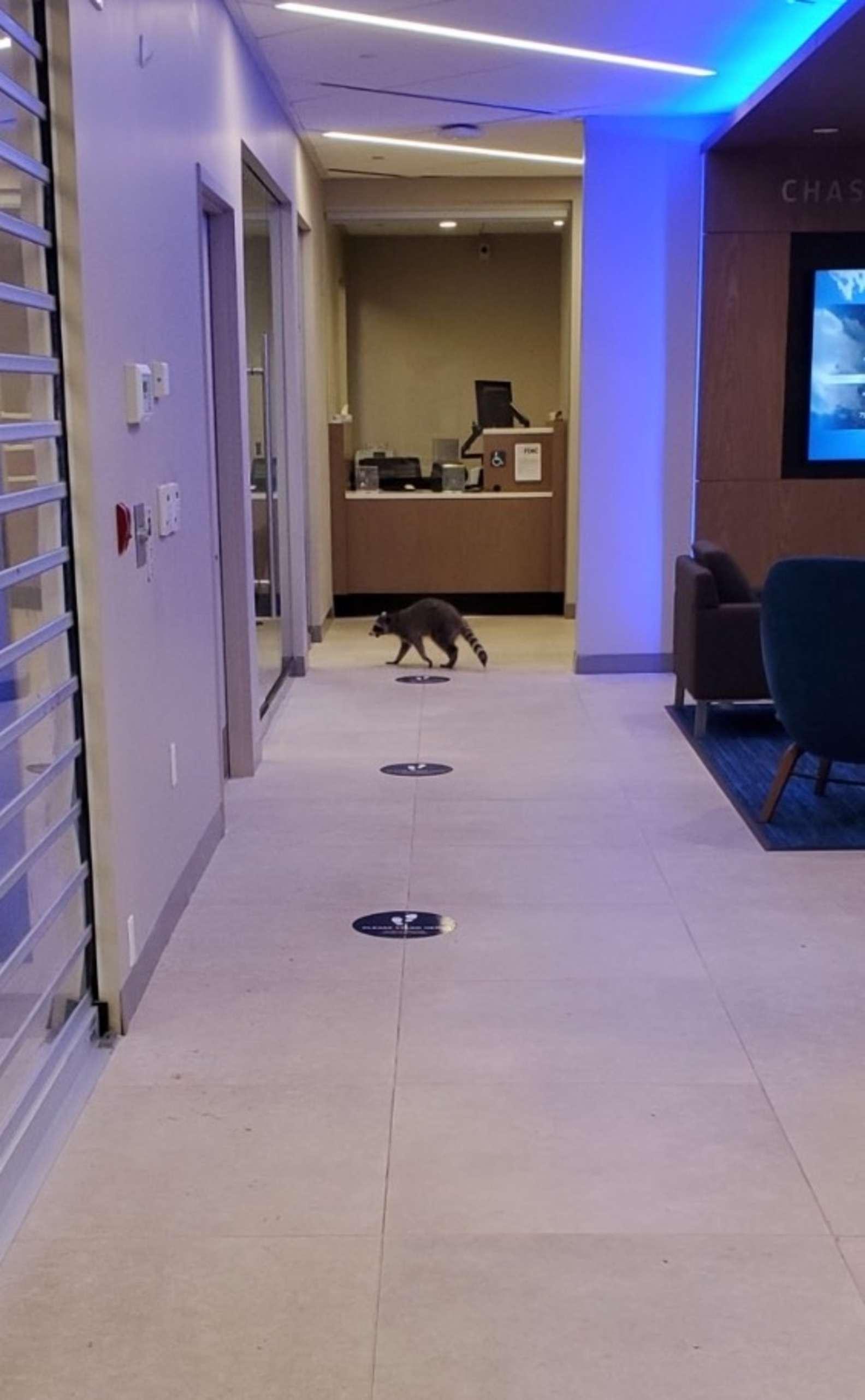 浣熊「潛入銀行」做任務 人員驚呆:搶了「比錢還重要」的東西