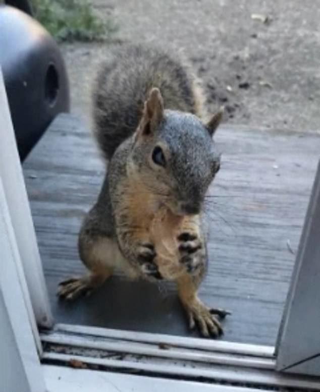 松鼠天天來窗前等花生 毛茸茸「無辜眼」讓你心甘情願掏錢❤