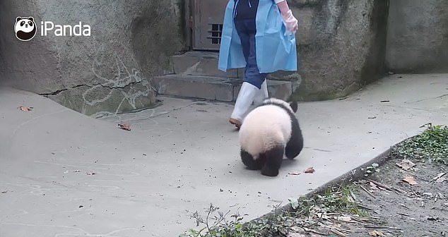 影/不要走嘛~熊貓擋門不讓保育員離開 孤單身影跌樓梯超可愛