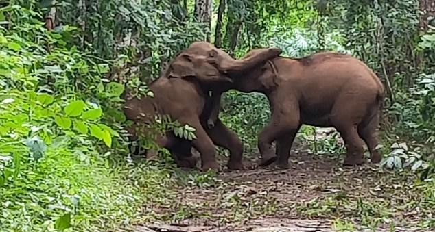 影/攝影師捕捉「小象鼻子拔河」超萌畫面 快輸就出奧步巴頭❤