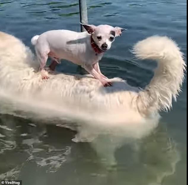 不會游泳?狗狗搭乘「超吉好友」直接把大白熊當船搭!
